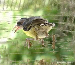 Bird#2 op het vinkentouw om op 4 augustus de wijde wereld in te trekken