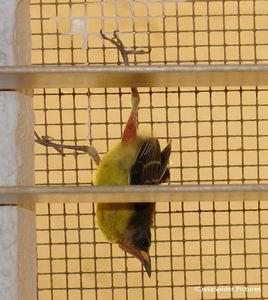 Suikerdiefje uit het derde nest vlieg voor het eerst uit. Klik voor groter.